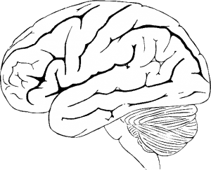 a line drawing of a human brain